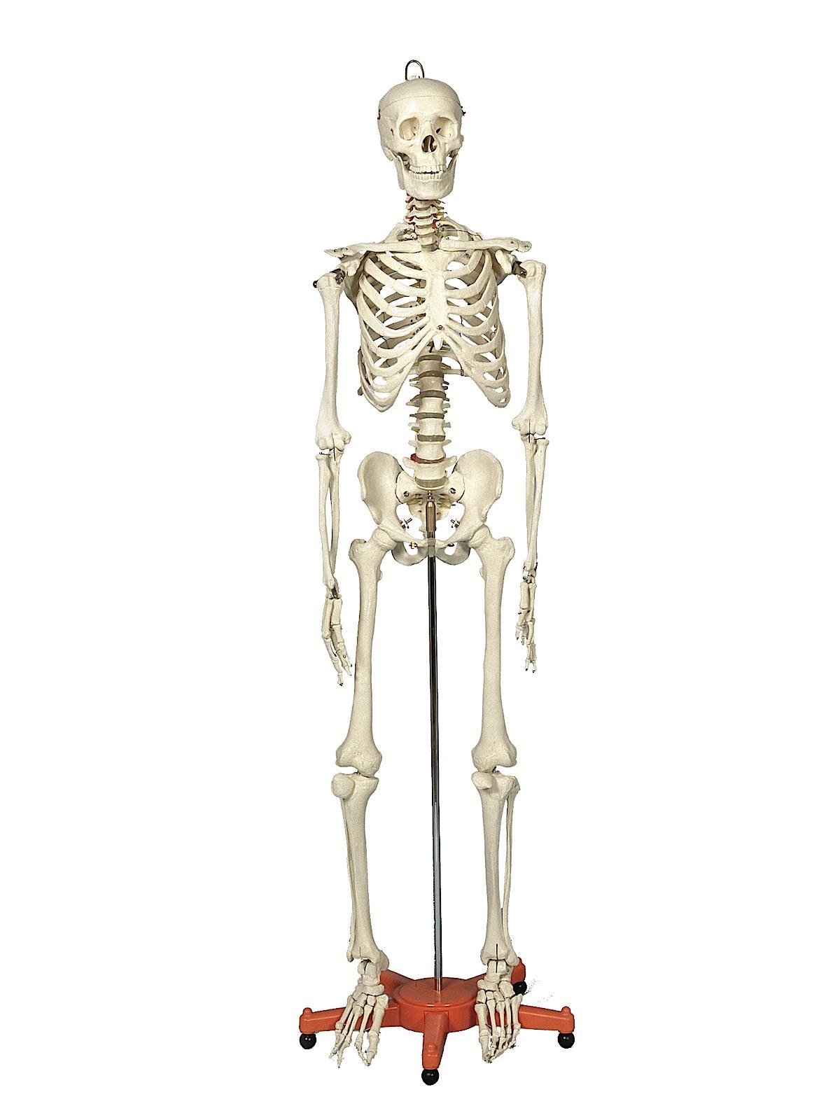 Skeleton Manikins