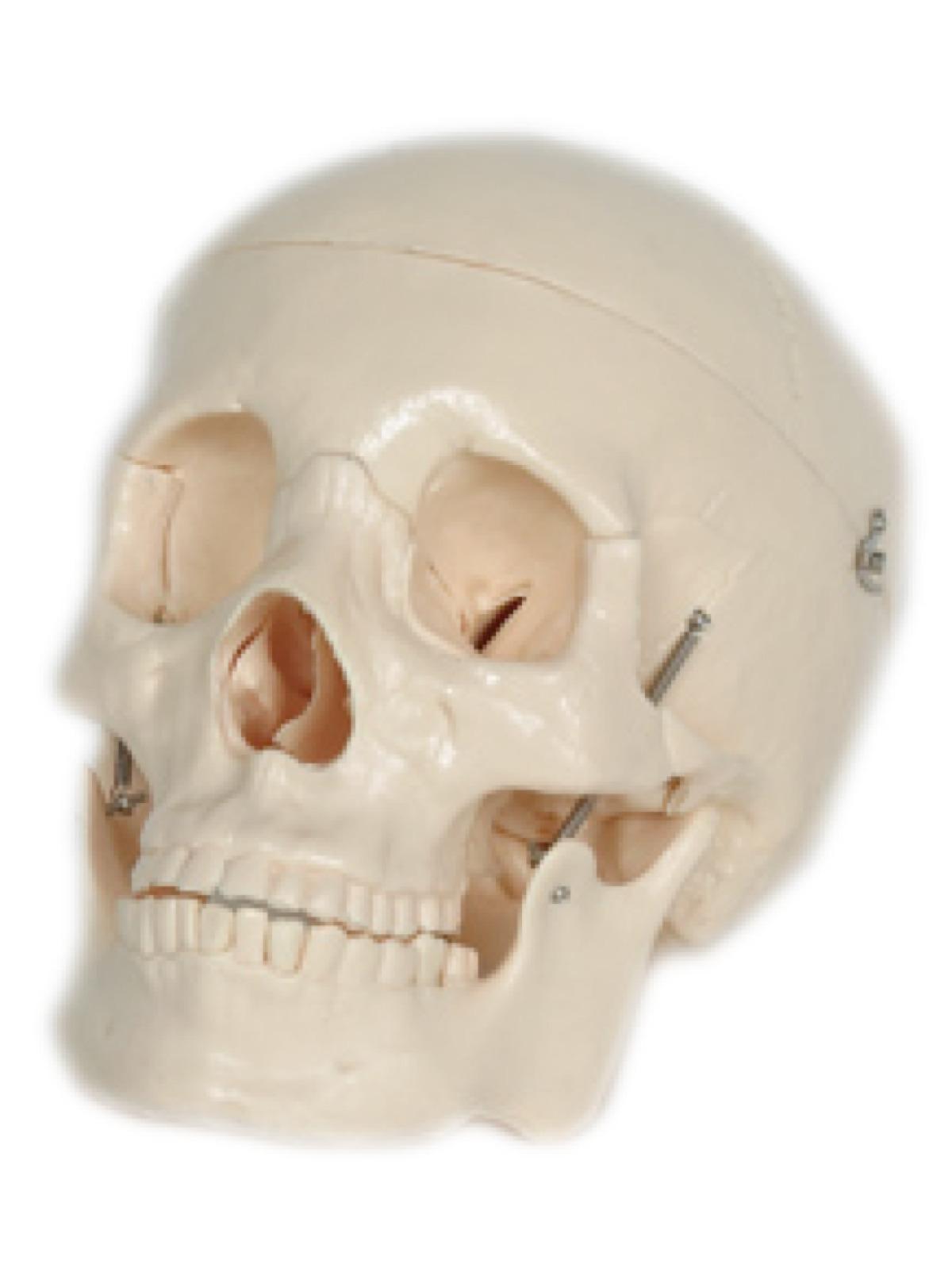 Skull Manikins